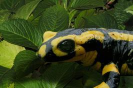 0595-salamandre